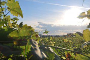 viticultura heroica cangas del narcea vino de cangas