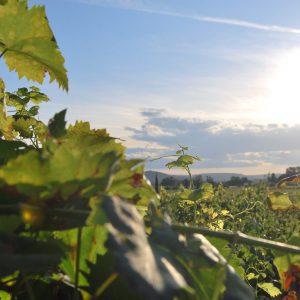 viñedos cangas del narcea viticultura heroica